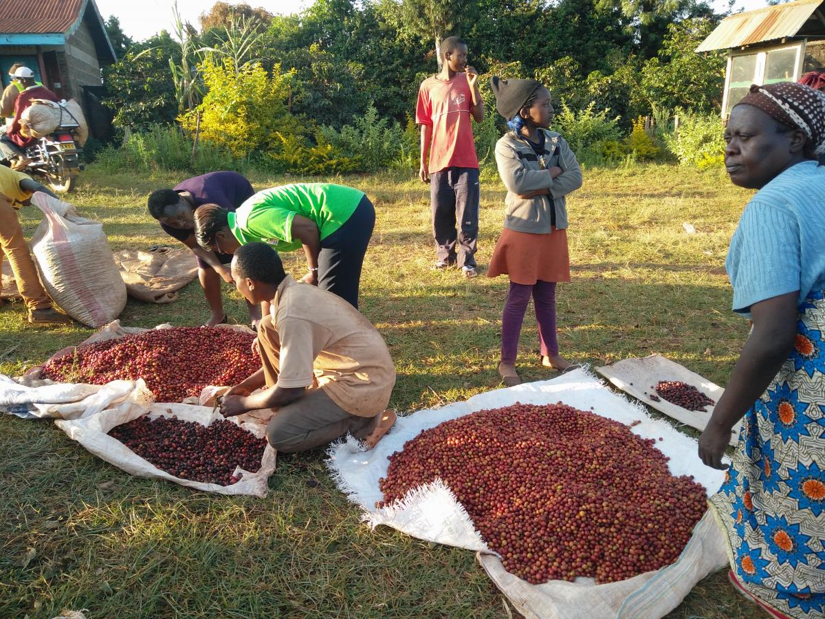 Sorting Coffee Beans