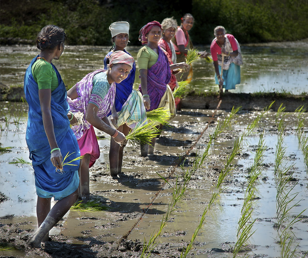Women farmers planting rice in Tamil Nadu, India. Photo by Michael Foley/Flickr.